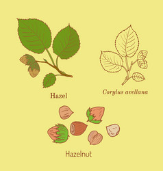 hand drawn hazelnut branch vector image