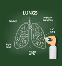 Doctor draws with chalk anatomy human lungs vector
