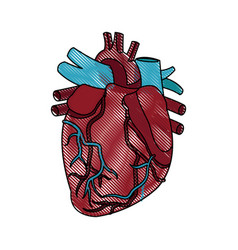 Anatomy of the human heart medical vector