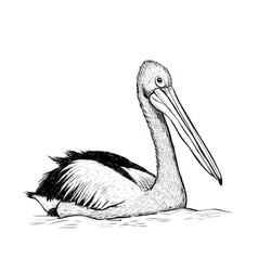 pelican bird sketch black and white hand drawing vector image