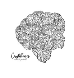vegetarian food hand drawn isolated cauliflower vector image
