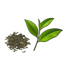 hand drawn pile of dry green tea and fresh leaf vector image vector image