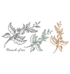 branch tea touch vector image