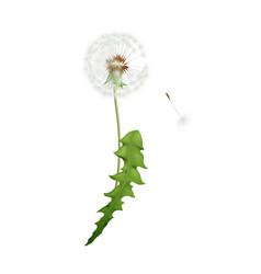 dandelion realistic vector image