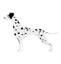 Adorable young Dalmatian standing in profile vector image