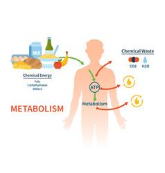 Human metabolism banner vector