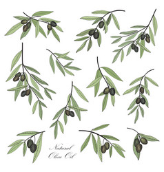 Olive hand drawn olive branch set stylish design vector