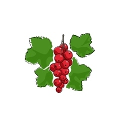 Redcurrant Isolated on White vector image