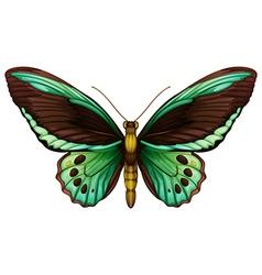 Common green birdwing vector