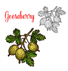 Gooseberry sketch fruit berry icon vector