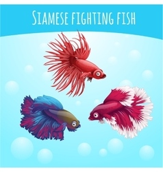 Three siamese fighting fish on a blue background vector image