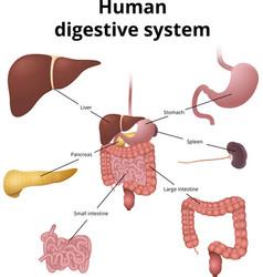 GI tract organs vector image