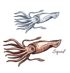 squid marine animal sketch for seafood design vector image