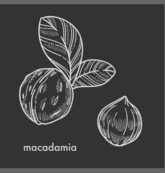whole macadamia nuts in shell with small leaves vector image