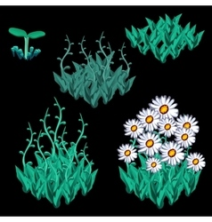 Growth stages of white chamomile five items vector image