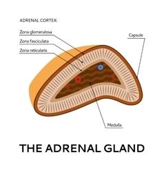 The adrenal gland medical scheme vector image