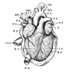 Anatomy heart vintage vector