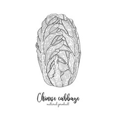 chinese cabbage hand drawn vector image