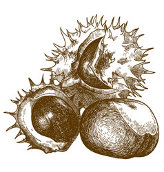 Engraving drawing of three chestnut vector
