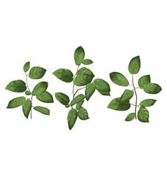 leaves and branches an evergreen salal vector image