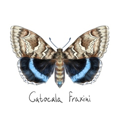 Butterfly Catocala Fraxini Watercolor imitation vector