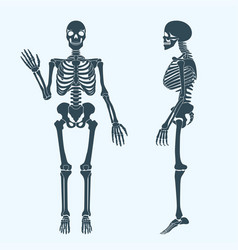 Human bones skeleton silhouette anatomy of vector
