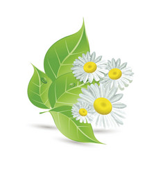 Daisies and green leaves vector