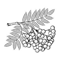 Rowan branch vector