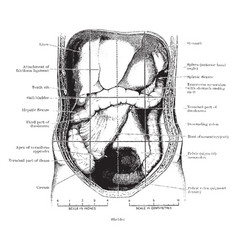 Abdomen laid open after removal of jejunum vector