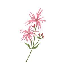 Ragged-robin flower vintage botanical drawing of vector