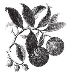 Strawberry Tree vintage engraving vector image vector image