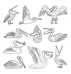 Pelicans vector