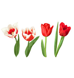 set of decorative red and white tulips beautiful vector image