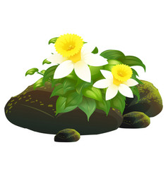daffodil flowers and rocks on white background vector image
