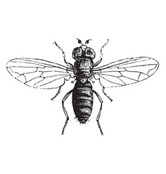 louse fly vintage vector image