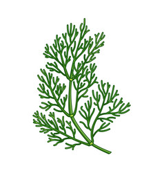dill spice realistic colored botanical vector image