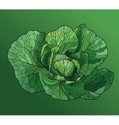 Heads cabbage close up vector