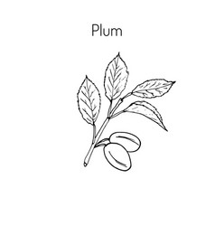 Plum branch with leaves vector
