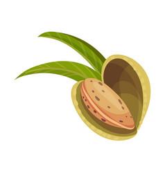 Whole almond kernel with split nutshell vector