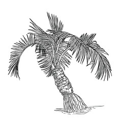 hand drawn of coconut palm tree vector image