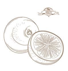 outline hand drawn grapefruit or orange flat vector image