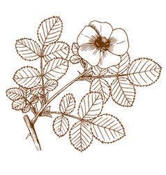 rosa balsamica vector image vector image