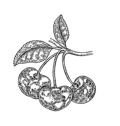 hand drawn cherry branch fruit vector image