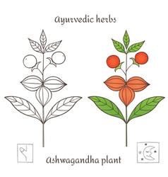 Ashwagandha plant 2-01 vector