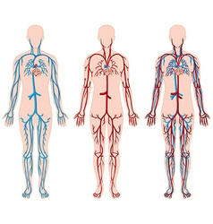 Different diagram of blood vessels in human vector image