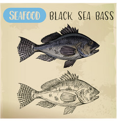 Sketch of black sea bass or bigmouth for signboard vector