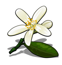 single flower of lemon tree isolated on a white vector image