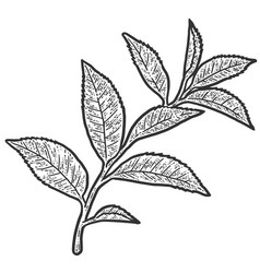 Sprig with tea tree leaves sketch scratch board vector