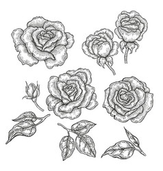 hand drawn rose flowers and leaves isolated on vector image vector image
