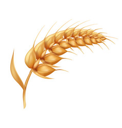 Barley ears with whole grain harvest symbol vector